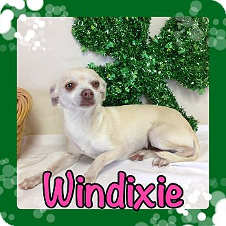 Chihuahua Dog for adoption in Pahrump, Nevada - Windixie