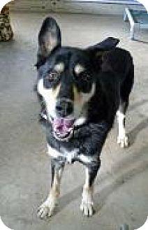 Husky/Shepherd (Unknown Type) Mix Dog for adoption in Tyrone, Pennsylvania - Corey