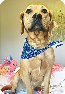 Labrador Retriever Mix Dog for adoption in Schaumburg, Illinois - JETHRO