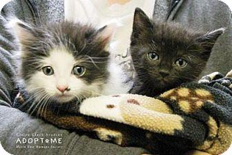 Domestic Mediumhair Kitten for adoption in Edwardsville, Illinois - Martin
