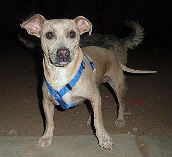 Dachshund/Shar Pei Mix Dog for adoption in Phoenix, Arizona - Smeagle