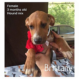Hound (Unknown Type) Mix Puppy for adoption in DeForest, Wisconsin - Brittany
