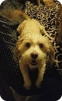 Havanese/Poodle (Miniature) Mix Dog for adoption in Federal Way, Washington - Ben - Sweet and social