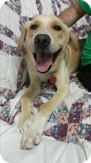 Labrador Retriever Mix Dog for adoption in Tallahassee, Florida - Willy