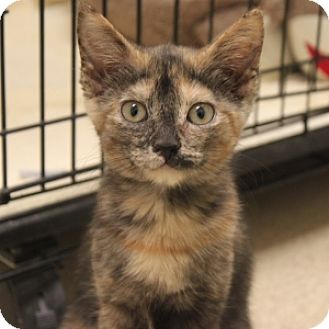 Domestic Shorthair Kitten for adoption in Naperville, Illinois - Cameo