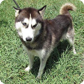 Husky Mix Dog for adoption in Nesquehoning, Pennsylvania - Storm