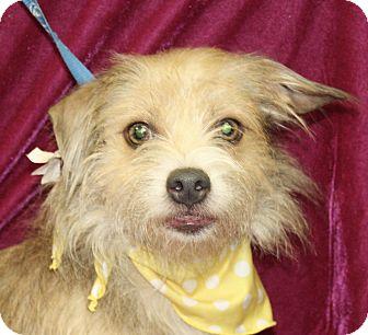 Cairn Terrier Mix Dog for adoption in Jackson, Michigan - Flower