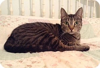 Domestic Shorthair Cat for adoption in Houston, Texas - Blossom