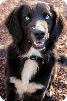 Flat-Coated Retriever/Border Collie Mix Dog for adoption in McCormick, South Carolina - Marty