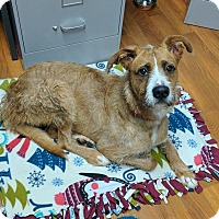 Poodle (Standard)/Boxer Mix Dog for adoption in Lisbon, Ohio - Kirby