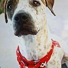 Adopt A Pet :: Chuck Norris - Denton, TX
