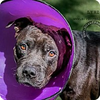 Adopt A Pet :: Lyric - Kansas City, MO
