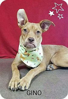 Boxer Mix Puppy for adoption in Pluckemin, New Jersey - Gino