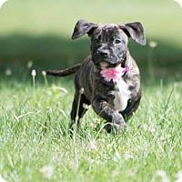 Terrier (Unknown Type, Medium) Mix Puppy for adoption in Kalamazoo, Michigan - May - Katrina