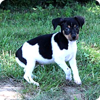 Adopt A Pet :: Doodlebug - Glastonbury, CT