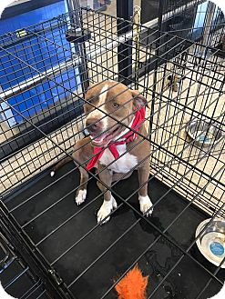 Pit Bull Terrier Mix Dog for adoption in Seguin, Texas - Teddy Kenny
