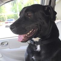 Shepherd (Unknown Type)/Labrador Retriever Mix Dog for adoption in West Palm Beach, Florida - MAGGIE
