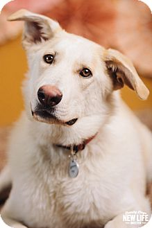 Labrador Retriever/German Shepherd Dog Mix Dog for adoption in Portland, Oregon - Donnie