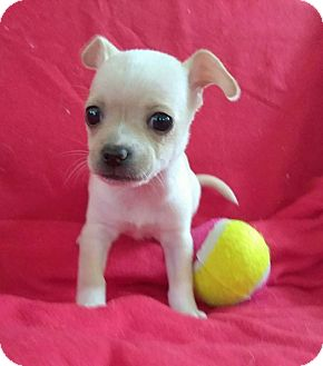 Chihuahua Puppy for adoption in Lawrenceville, Georgia - Fawn