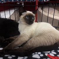 Adopt A Pet :: Cleopatra - Alamo, CA