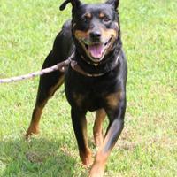 Adopt A Pet :: Blaze - Ashland, VA
