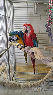 Macaw for adoption in Elizabeth, Colorado - Goldie