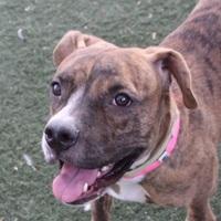 Adopt A Pet :: *JUNE BUG - Las Vegas, NV