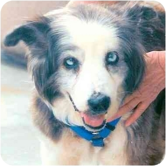 Australian Shepherd Mix Dog for adoption in Rolling Hills Estates, California - Frankie