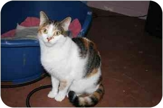 Domestic Shorthair Cat for adoption in tucson, Arizona - Cleo