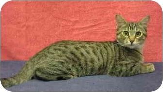 Domestic Shorthair Cat for adoption in Sacramento, California - Coco