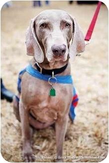 Weimaraner Dog for adoption in Eustis, Florida - Shadow Blue  **ADOPTED**