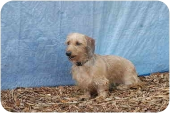 Dachshund Dog for adoption in Ft. Myers, Florida - Snickers
