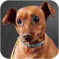 Miniature Pinscher Dog for adoption in Columbus, Ohio - Cinnamon