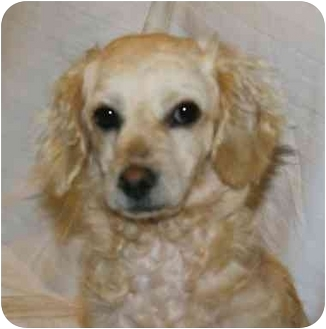 Cockapoo Mix Dog for adoption in Staunton, Virginia - Lacy