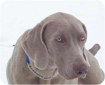 Weimaraner Puppy for adoption in Grand Haven, Michigan - Aniken
