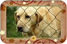 Labrador Retriever Mix Dog for adoption in Staunton, Virginia - Noah