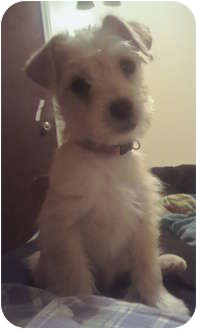 Terrier (Unknown Type, Small) Mix Puppy for adoption in Long Beach, California - Milo