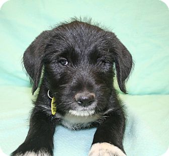 Airedale Terrier/Labrador Retriever Mix Puppy for adoption in Westminster, Colorado - Star