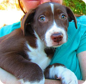 Labrador Retriever Mix Puppy for adoption in Alexandria, Virginia - Sarafina