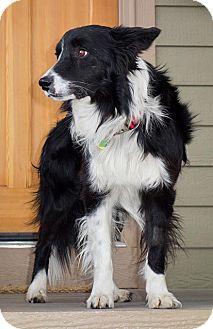 Border Collie Dog for adoption in Denver, Colorado - Ziggy