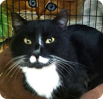 Domestic Shorthair Cat for adoption in Webster, Massachusetts - George