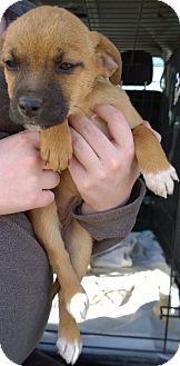 Black Mouth Cur/Chihuahua Mix Puppy for adoption in Ranger, Texas - Valentine