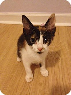 Calico Kitten for adoption in Monroe, North Carolina - Maeve