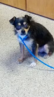 Terrier (Unknown Type, Small) Mix Dog for adoption in Shawnee, Oklahoma - Spike