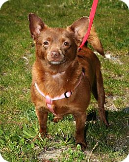 Pomeranian/Chihuahua Mix Dog for adoption in Bellingham, Washington - Dixie