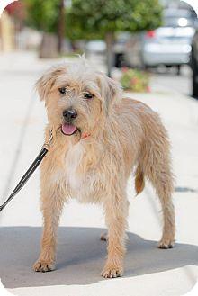 Sheltie, Shetland Sheepdog Mix Dog for adoption in Corona, California - GEORGE