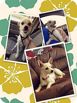 Chihuahua/Wirehaired Fox Terrier Mix Dog for adoption in Goldens Bridge, New York - Isabelle