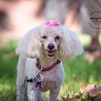 Adopt A Pet :: Sugar - Rancho Santa Margarita, CA