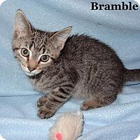 Adopt A Pet :: Bramble - Bentonville, AR