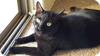 "Bombay Cat for adoption in Mesa, Arizona - Bruce Wayne ""Batman"""
